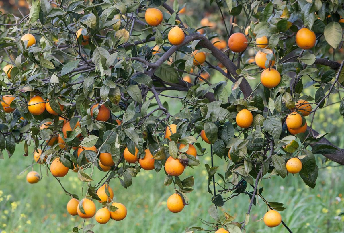 Arance siciliane: le più buone!